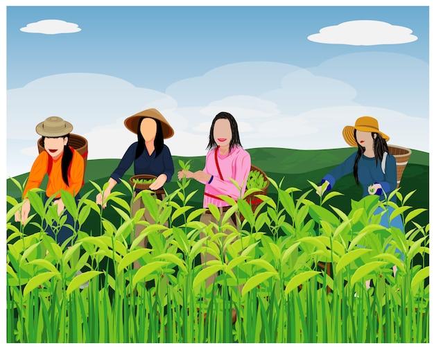 Landbouwkundige oogst theebladeren