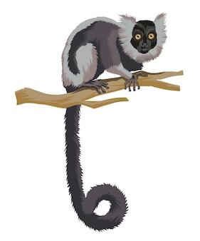 Lang betegelde zwart-witte maki een aap primaat dier met een zeer lange staart op vertakkingen geïsoleerd