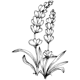 Lavendel geïsoleerde schets illustratie. handgetekend element voor bruiloftskruid, plant of monogram met elegante bladeren voor uitnodiging, bewaar het datumkaartontwerp. botanisch rustiek trendy groen.