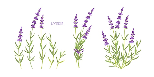 Lavendel plant set vector plat gras lavendel lavendel bloemen collectie geïsoleerd medische plant