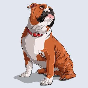 Leuke bruine engelse bulldog-hondzitting geïsoleerd