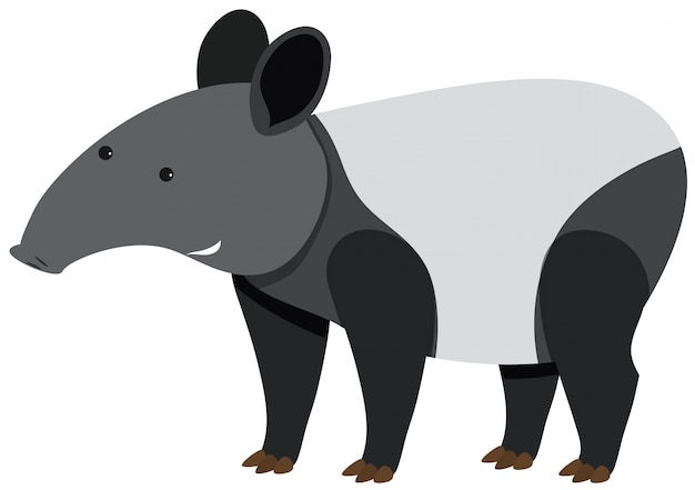 Leuke tapir die zich op witte achtergrond bevindt