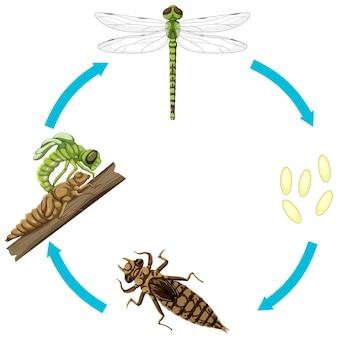 Levenscyclus van dragon fly op witte achtergrond