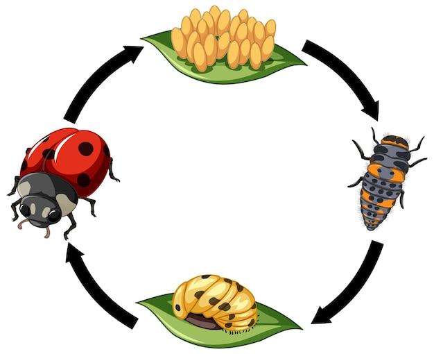 Levenscyclus van lieveheersbeestje op witte achtergrond