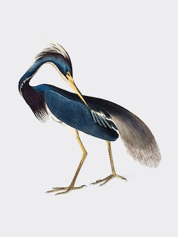 Louisiana heron illustratie