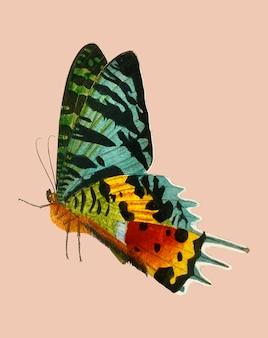 Madagascan sunset moth (urania riphaeus) geïllustreerd door charles dessalines d'orbigny (1806-1876).