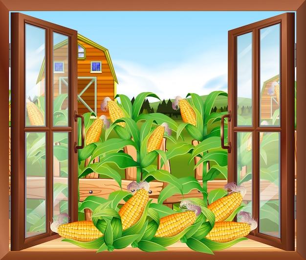 Maïsveld in de boerderij