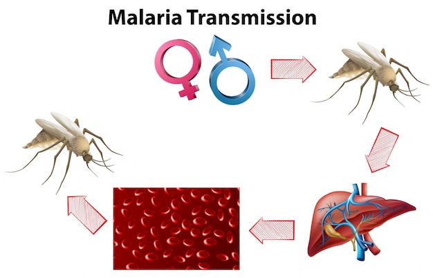 Malaria transmissiediagram zonder tekst