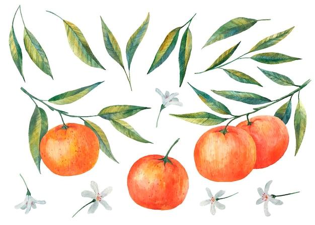 Mandarijn takken citrus illustratie van bladeren en bloemen van mandarijn aquarel