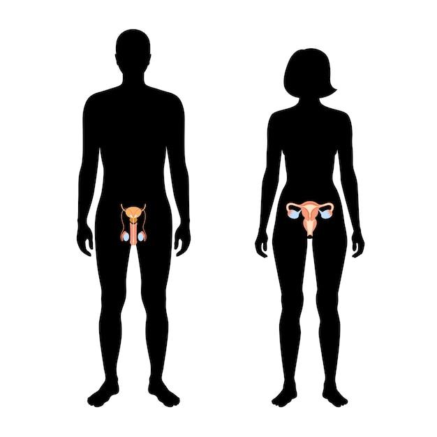 Mannelijk en vrouwelijk voortplantingssysteem in silhouet. baarmoeder en eierstok, testis in het lichaam van man en vrouw.