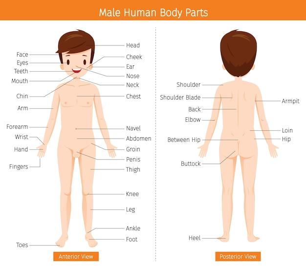 Mannelijke menselijke anatomie, uitwendige organen lichaam