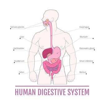 Medische illustratie van het menselijke spijsverteringsstelsel. schema voor schoolboeken.