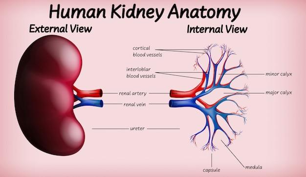 Medische menselijke nieranatomie