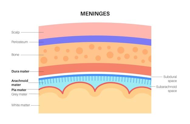 Meninges anatomie. bescherming van het centrale zenuwstelsel. menselijk hoofd vectorillustratie