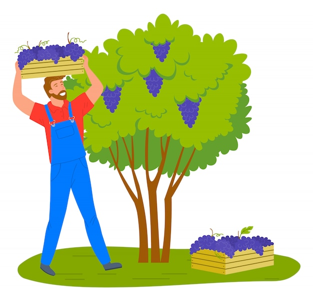 Mens die geïsoleerde de aanplanting van de druivenwijngaard verzamelen