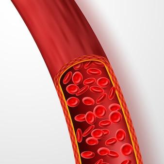 Menselijk bloedvat met rode bloedcellen.