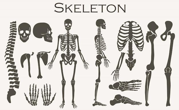 Menselijk botten skelet