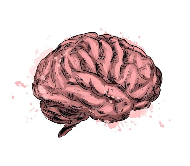Menselijk brein uit een scheutje aquarel, gekleurde tekening, realistisch.