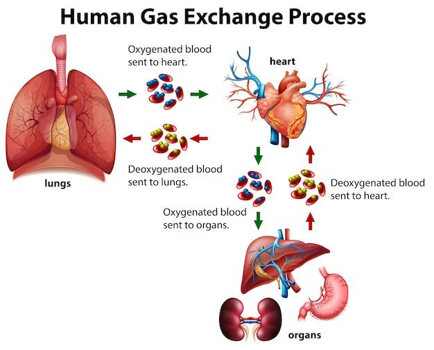 Menselijk gasuitwisselingsproces diagram
