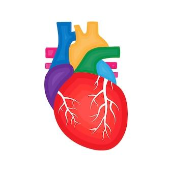 Menselijk hart anatomie cardiologie concept menselijk inwendig orgaan illustratie