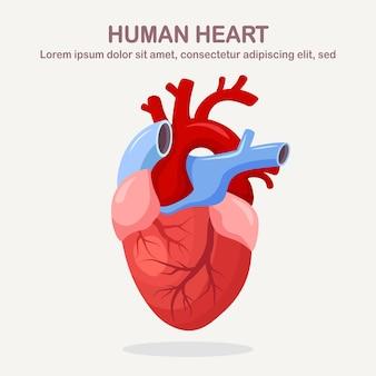 Menselijk hart geïsoleerd op een witte achtergrond. cardiologie, anatomie concept. cartoon ontwerp