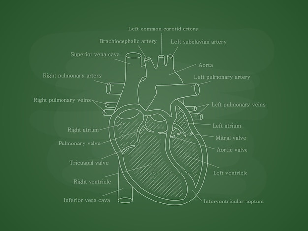 Menselijk hartsysteem met beschrijvingen op schoolbord educatief diagram met hartdoorsnede