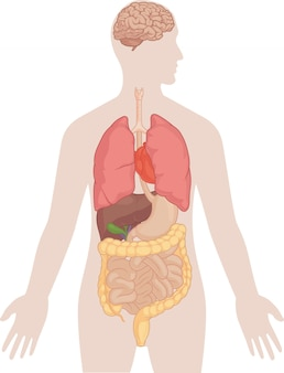 Menselijk lichaam anatomie