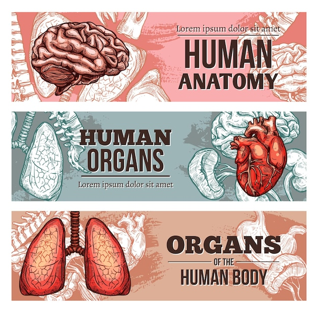 Menselijk lichaam orgel banners met schets hersenen, longen, wervelkolom en hart met nieren