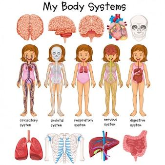 Menselijk lichaam studie