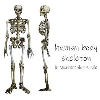 Menselijk lichaamskelet in waterkleurstijl.