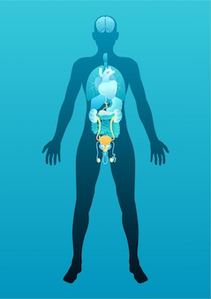 Menselijk mannelijk lichaam met interne organen schema
