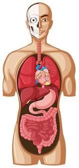 Menselijk model met organen