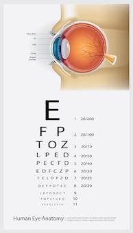 Menselijk oog anatomie illustratie