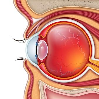 Menselijk oog dwarsdoorsnede zijaanzicht close-up geïsoleerd op witte baclground