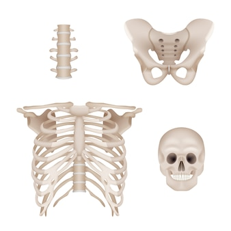 Menselijk skelet. anatomie van de schedel en botten voor medische realistische foto's van artsen
