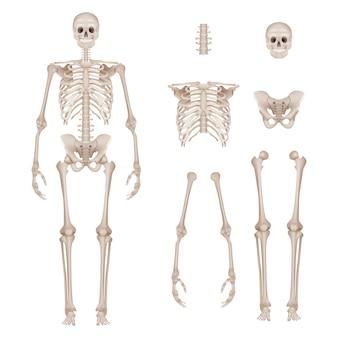 Menselijk skelet. lichaamsdelen schedel botten handen voet wervelkolom anatomie gedetailleerde realistische illustratie