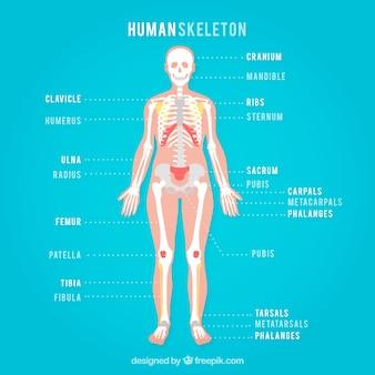 Menselijk skelet op een blauwe achtergrond