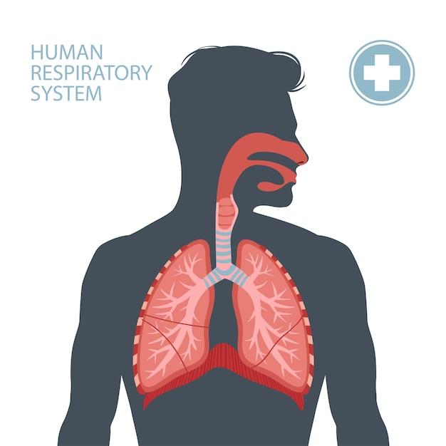 Menselijke ademhalingswegen.