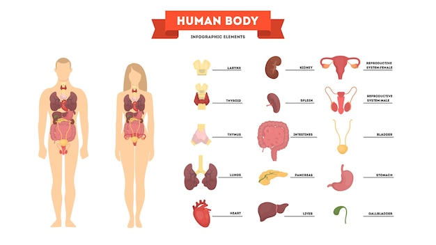 Menselijke anatomie concept. vrouwelijk en mannelijk lichaam
