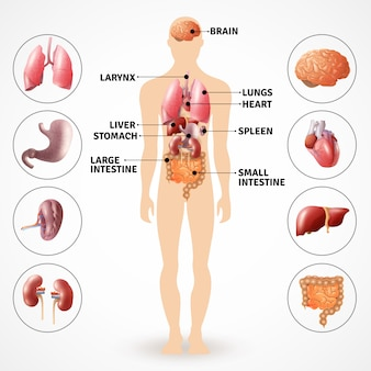 Menselijke anatomie-organen