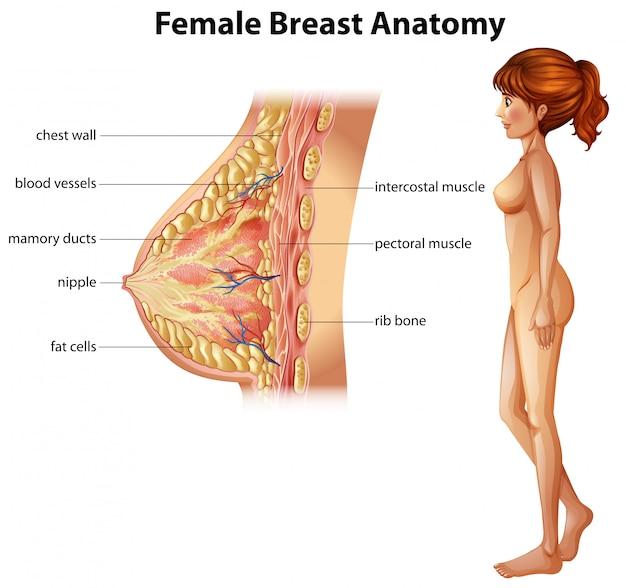 Menselijke anatomie van de vrouwelijke borst