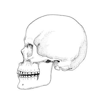 Menselijke biologie, anatomie illustratie. gegraveerde hand getrokken in oude schets en vintage stijl. schedel of skelet silhouet. beenderen van het lichaam. vooraanzicht of gezicht.