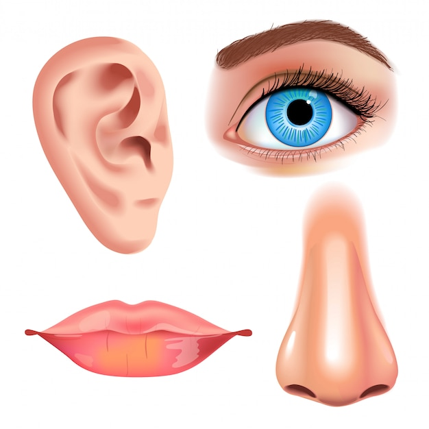 Menselijke biologie, organen anatomie illustratie. realistische stijl. gezicht gedetailleerde lippen en oor, oog of uitzicht, kijk met neus.