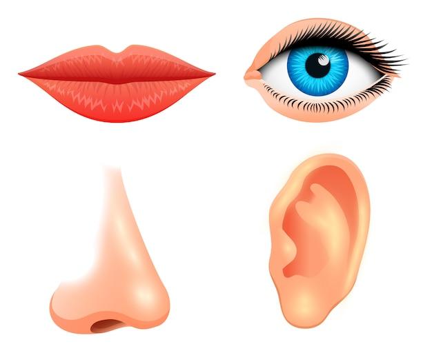 Menselijke biologie, zintuigen, anatomie illustratie. gezicht gedetailleerde kus of lippen, neus en oor, oog of uitzicht. medische wetenschap of gezonde man instellen. visie, gehoor, smaak, geur, aanraking, blik, europeoid.