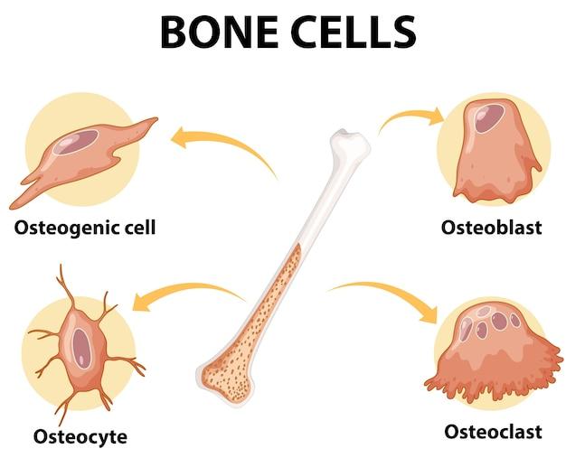 Menselijke botcellen anatomie