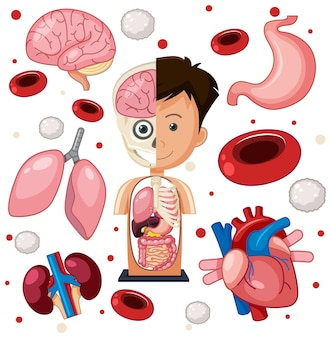 Menselijke delen anatomie objecten