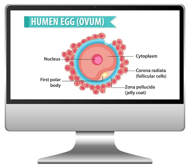 Menselijke eicel op het bureaublad van de computer