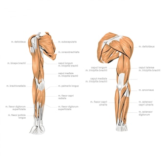 Menselijke hand anatomie