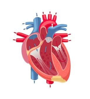 Menselijke hartanatomie die op witte achtergrond wordt geïsoleerd.
