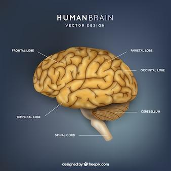 Menselijke hersenen illustratie